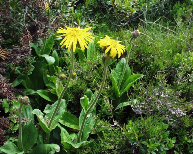 Bienenweide Heilpflanze Arnika