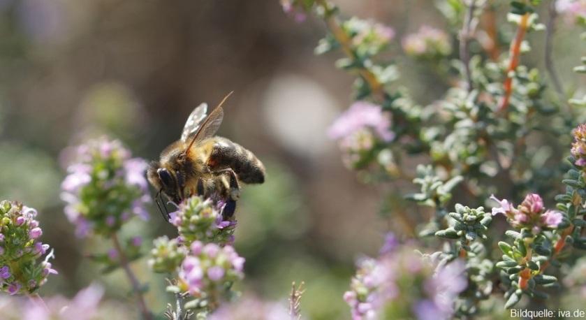 Bienenweide Thymian