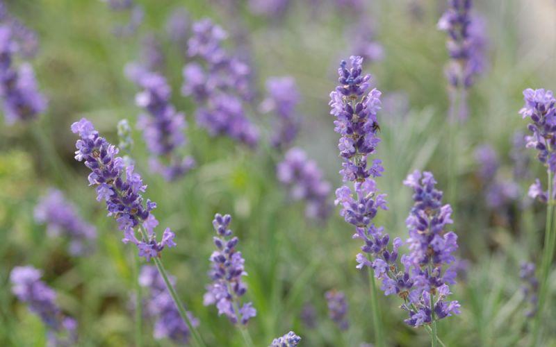 Lavendel Bienenweide